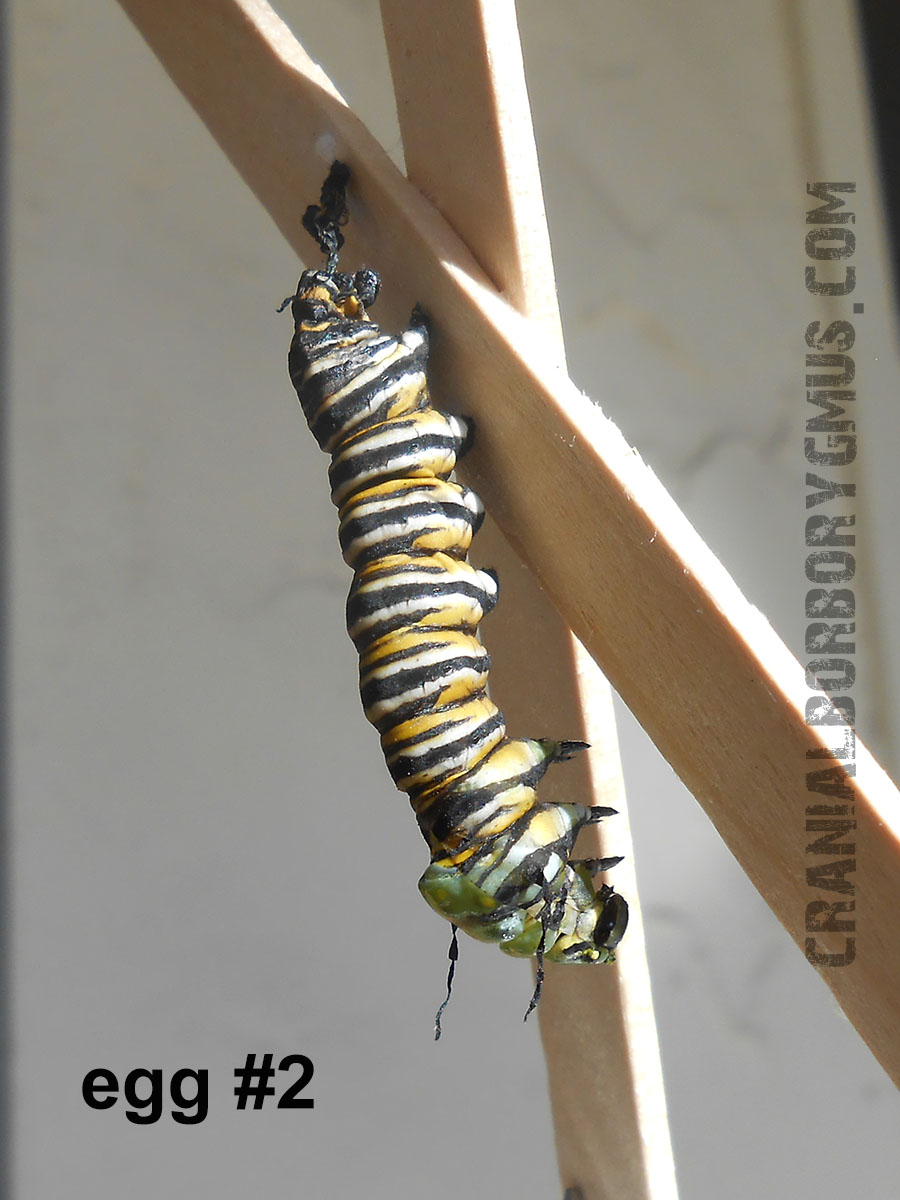 monarch caterpiller fails to turn into a chrysalis