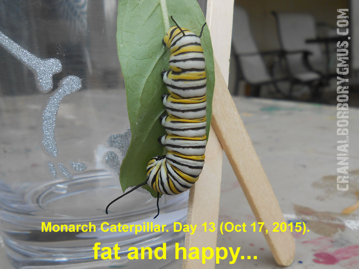 Stupendous Tachinid Flies Are Killing My Monarch Caterpillars Help Inzonedesignstudio Interior Chair Design Inzonedesignstudiocom