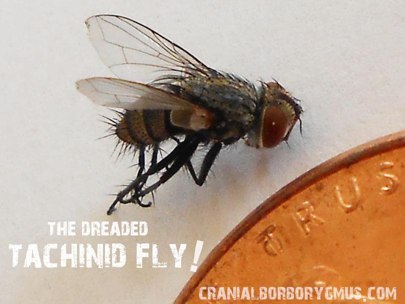 Surprising Tachinid Flies Are Killing My Monarch Caterpillars Help Inzonedesignstudio Interior Chair Design Inzonedesignstudiocom